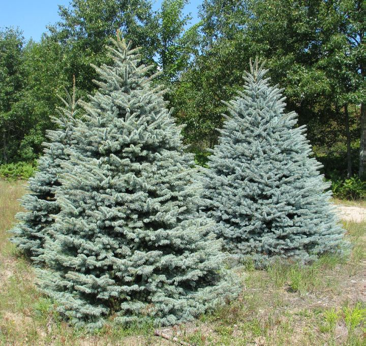 Blue Spruce | Wholesale Christmas Trees
