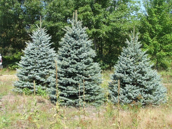 Christmas Tree Farms In Michigan