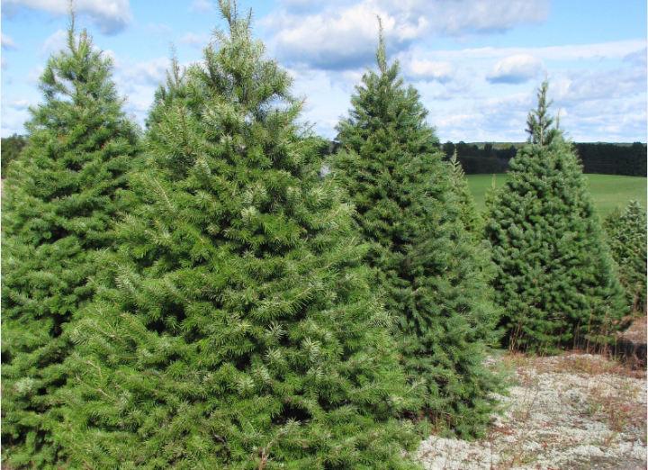 Douglas Fir | Wholesale Christmas Trees