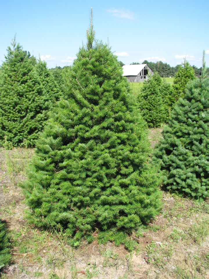Good Quality Christmas Trees