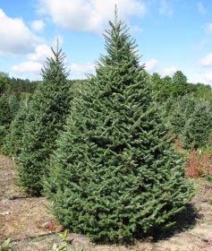 9e43399e371 Fraser Fir - Wholesale Christmas Trees