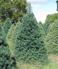 Scotch Pine   Wholesale Christmas Trees
