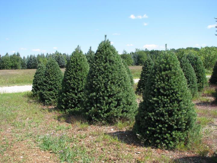 Wholesale Christmas Tree Farm